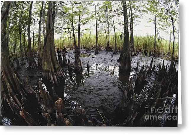 Tree Roots Greeting Cards - Bald Cypress Knees Greeting Card by Gregory G. Dimijian, M.D.