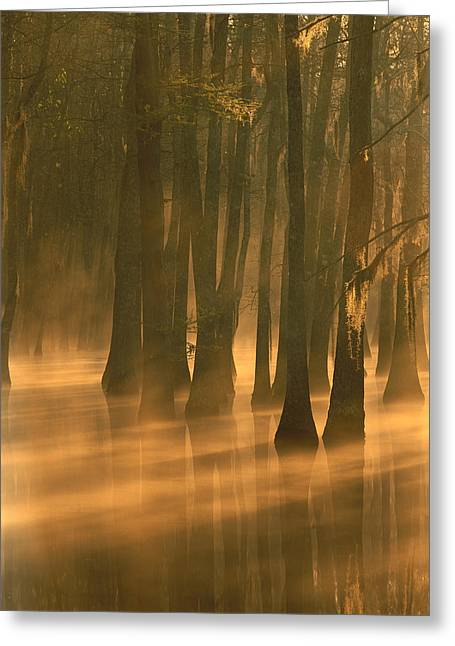 Calcasieu River Greeting Cards - Bald Cypress Swamp Calcasieu River Greeting Card by Tim Fitzharris