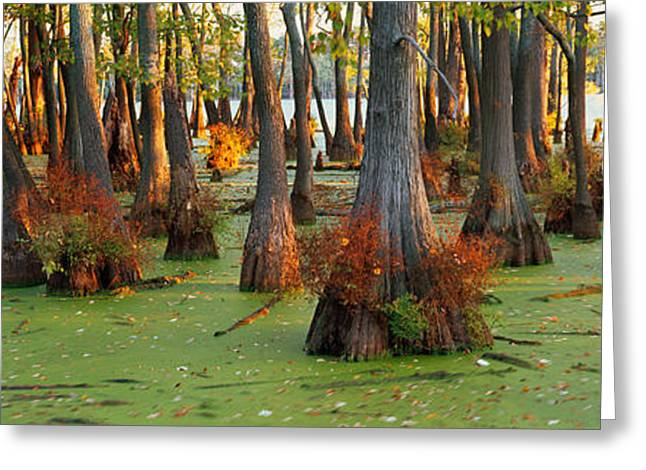 Moss Greeting Cards - Bald Cypress Trees Taxodium Disitchum Greeting Card by Panoramic Images
