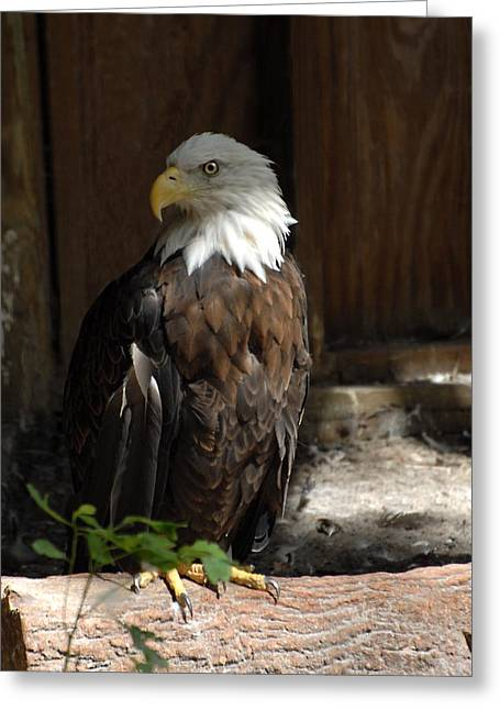 Beach At Night Greeting Cards - Bald Eagle 291 Greeting Card by Joyce StJames