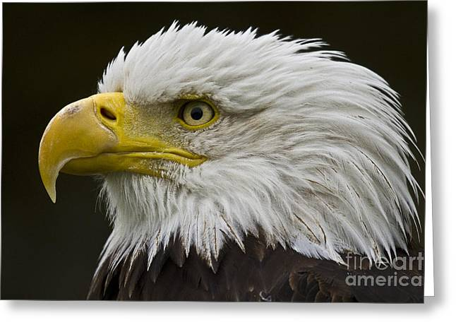 Faunal Greeting Cards - Bald Eagle - 7 Greeting Card by Heiko Koehrer-Wagner