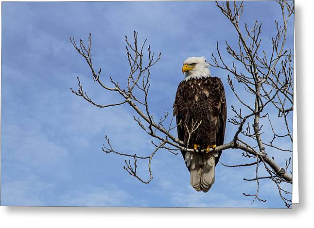 Eagle Greeting Cards - Bald Eagle Greeting Card by Aaron J Groen