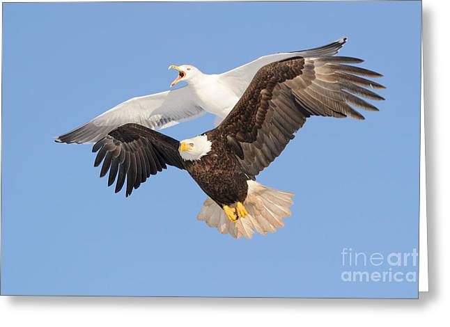 Harassment Greeting Cards - Bald Eagle and Greater Black-backed Gull Greeting Card by Scott Linstead
