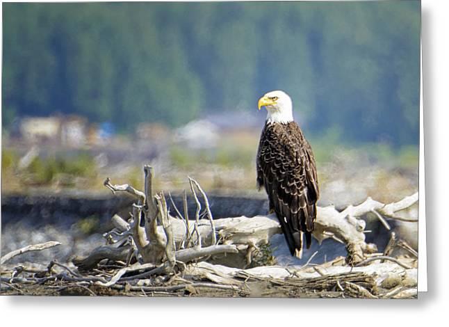 Bald Eagle At Chilkat Greeting Card by Vicki Jauron