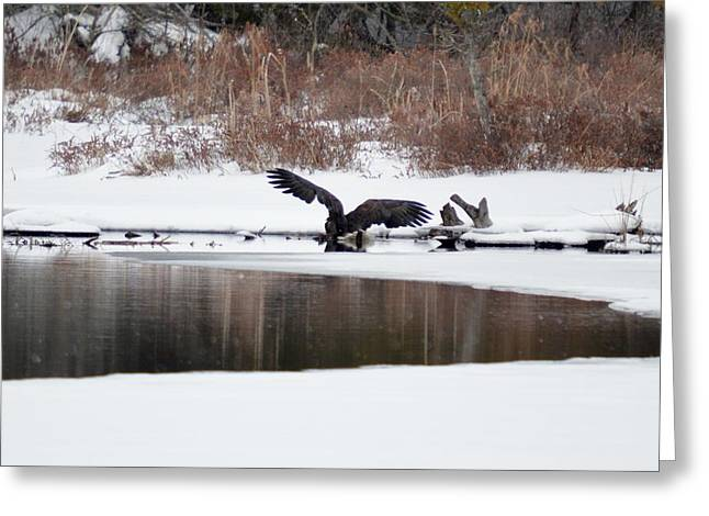Canoe Greeting Cards - Bald Eagle Bathing 6 Greeting Card by Thomas Phillips