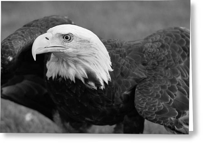 Eagle Greeting Cards - Bald Eagle Black And White Greeting Card by Dan Sproul