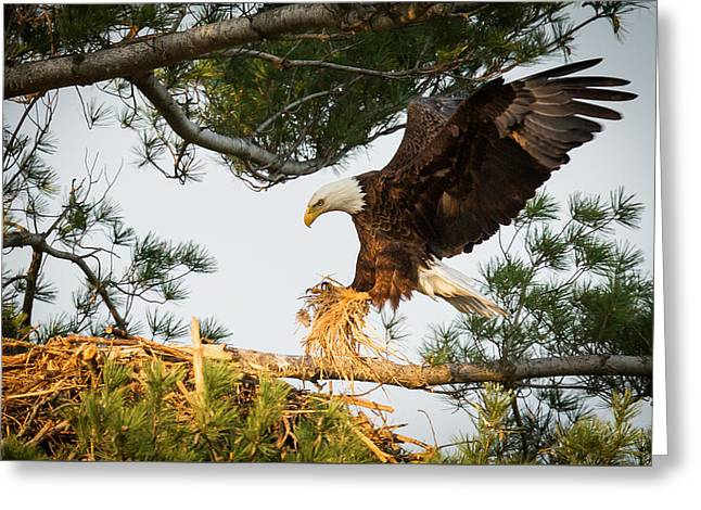 Bald Greeting Cards - Bald Eagle building nest Greeting Card by Everet Regal
