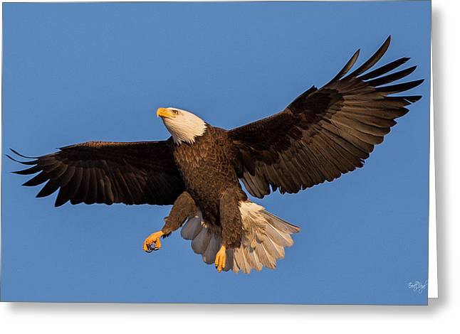 Eagle Greeting Cards - Bald Eagle Christmas Morning Greeting Card by Everet Regal