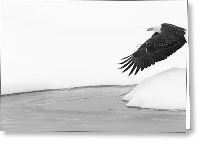 Pond In Park Greeting Cards - Bald Eagle Flying from Pool Greeting Card by Mike Cavaroc