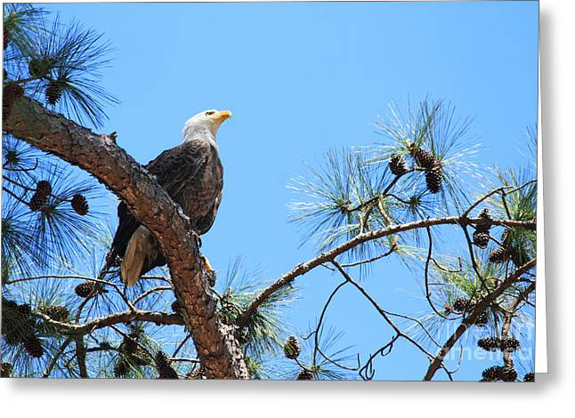 Geraldine Deboer Greeting Cards - Bald Eagle Greeting Card by Geraldine DeBoer