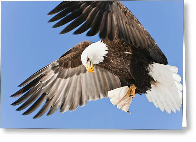 Cold Day Greeting Cards - Bald Eagle Haliaeetus Leucocephalus In Greeting Card by Ray Bulson