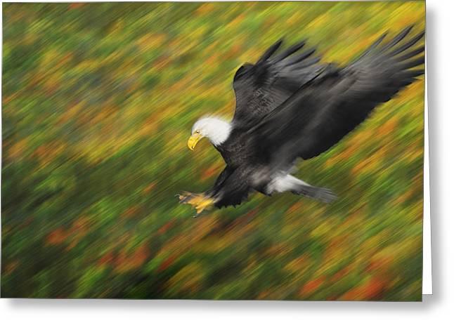 Ferocity Greeting Cards - Bald Eagle Haliaeetus Leucocephalus Greeting Card by Thomas Kitchin & Victoria Hurst