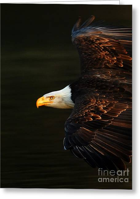Eagle In Flight Greeting Cards - Bald Eagle In Flight Greeting Card by Bob Christopher
