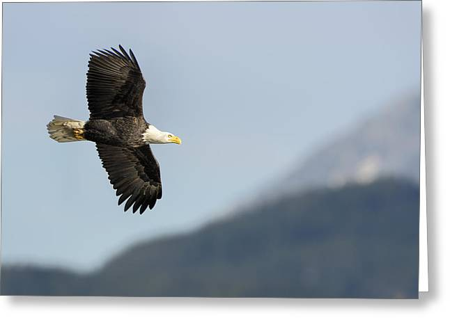 Yellow Beak Greeting Cards - Bald Eagle in Flight- Haliaeetus leucocephalus Greeting Card by Paul W Sharpe Aka Wizard of Wonders