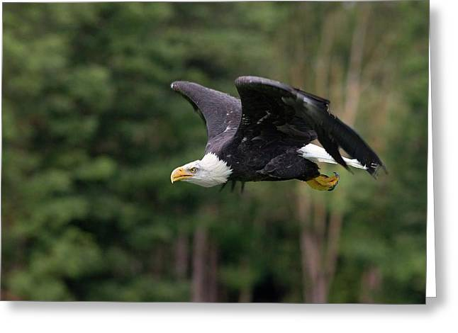 Bald Eagle In Flight Greeting Card by Linda Wright