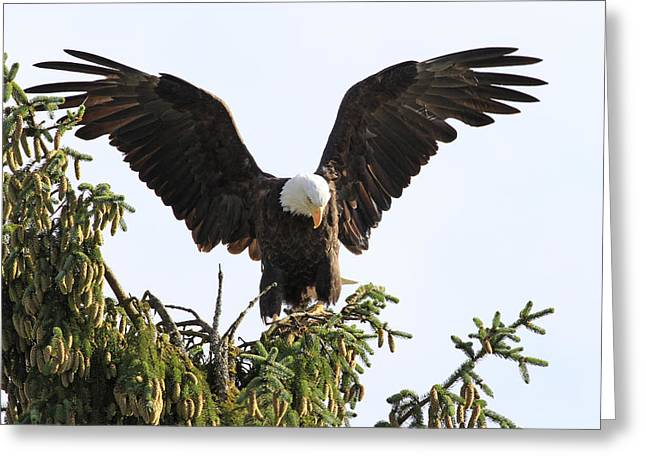Eagle Pyrography Greeting Cards - Bald Eagle in the Tree Greeting Card by Shoal Hollingsworth