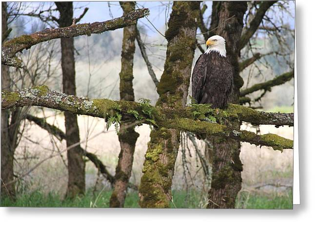 Wildlife Refuge. Greeting Cards - Bald Eagle in the Woods Greeting Card by Angie Vogel