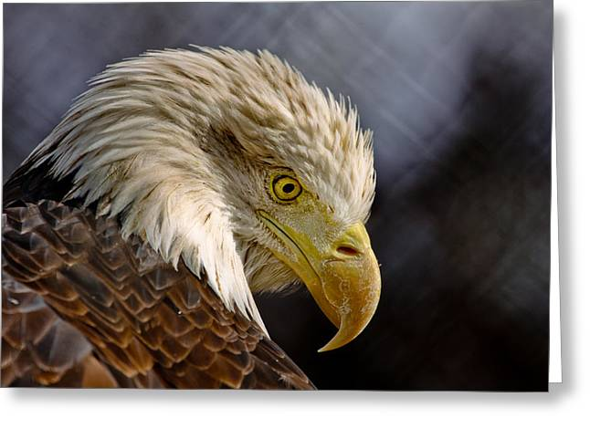 Sec Greeting Cards - Bald Eagle Greeting Card by Kendra Sheffield