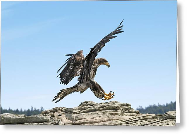 Occasion Greeting Cards - Bald Eagle Landing Greeting Card by Derek Holzapfel