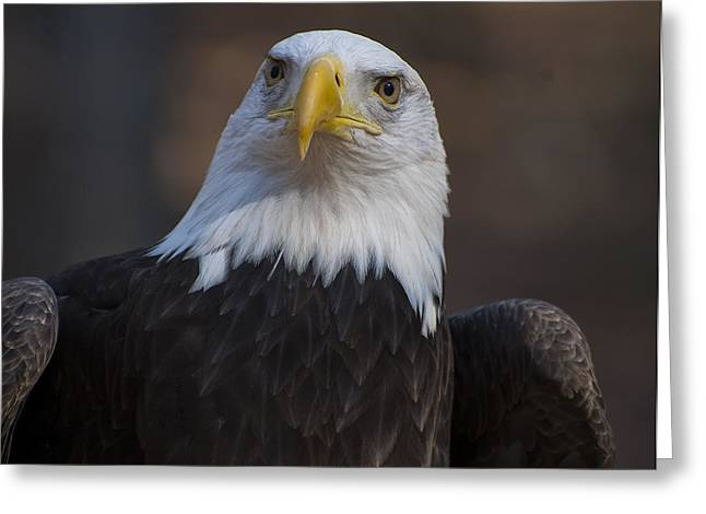 Eagle Images Greeting Cards - Bald eagle looking right Greeting Card by Chris Flees