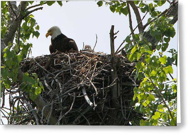 Eagle Greeting Cards - Bald Eagle Nesting Greeting Card by Dan Sproul