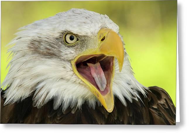 Bald Eagle Greeting Card by Nigel Downer