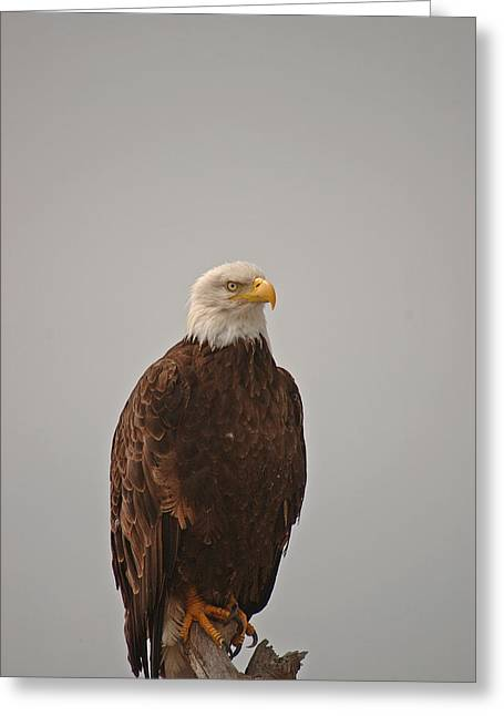 Fort Casey Greeting Cards - Bald Eagle on Driftwood-Keystone-03 Greeting Card by Irvin Damm