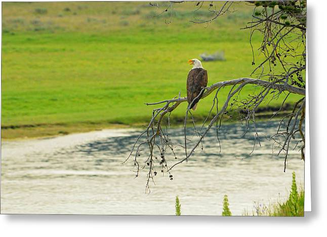 Bald Eagle Overlooking Yellowstone River Greeting Card by Greg Norrell