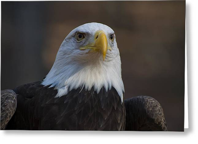 Bald Eagle Perched Greeting Card by Chris Flees