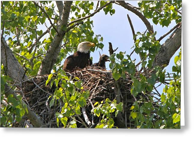 Eagle Greeting Cards - Bald Eagle Pose Greeting Card by Dan Sproul