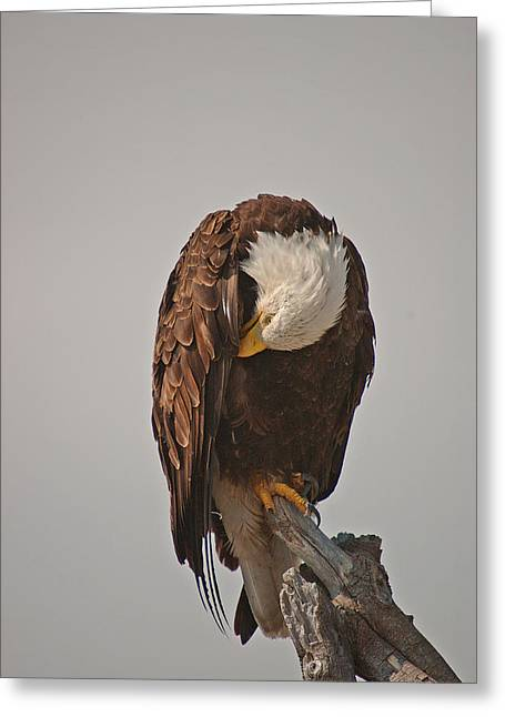 Fort Casey Greeting Cards - Bald Eagle Preening-Whidbey Island Greeting Card by Irvin Damm