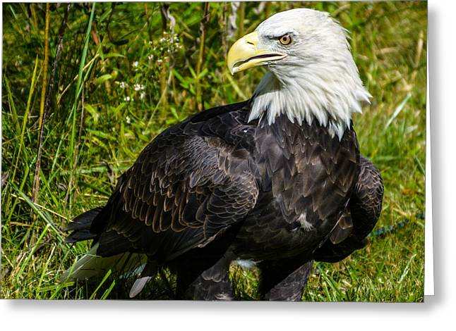 Nature Center Greeting Cards - Bald Eagle Greeting Card by Randy Scherkenbach