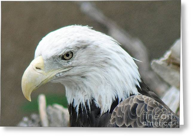 Eagle Pyrography Greeting Cards - Bald Eagle Greeting Card by Rick  Campbell