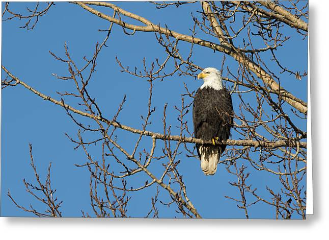 Yellow Beak Greeting Cards - Bald Eagle Sat in a Maple Tree Greeting Card by Paul W Sharpe Aka Wizard of Wonders