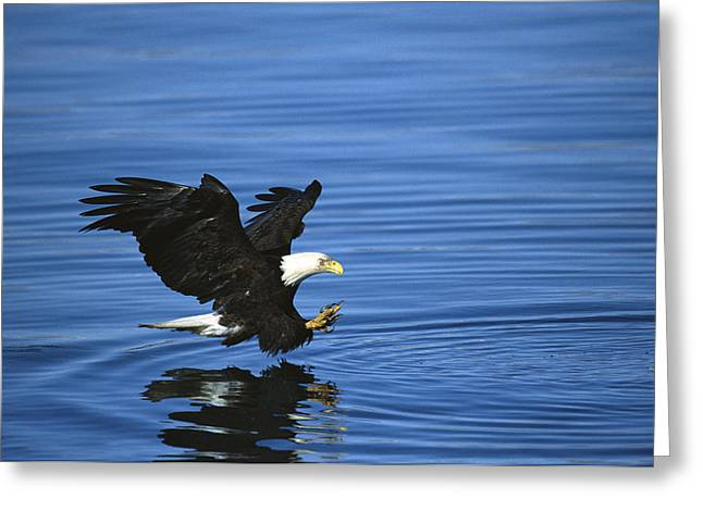 Striking Images Greeting Cards - Bald Eagle Striking Kenai Peninsula Greeting Card by Tom Vezo