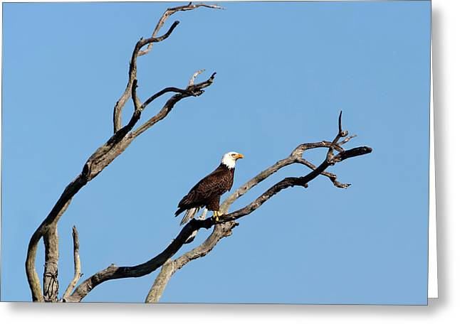 Wildlife Refuge. Greeting Cards - Bald Eagle Surveying His Territory Greeting Card by Dawn Currie