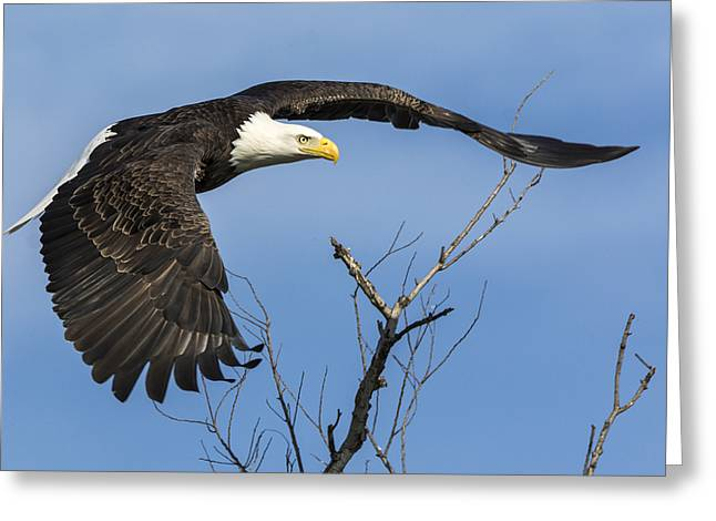 Wildlife Refuge. Greeting Cards - Bald Eagle Swoosh Greeting Card by Loree Johnson