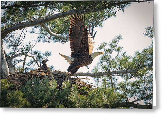Juveniles Greeting Cards - Bald Eagle with Eaglet Greeting Card by Everet Regal