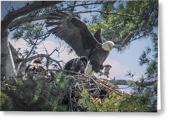 Juveniles Greeting Cards - Bald Eagle with Eaglets and fish Greeting Card by Everet Regal