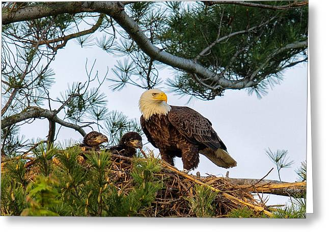 Juveniles Greeting Cards - Bald Eagle with Eaglets  Greeting Card by Everet Regal