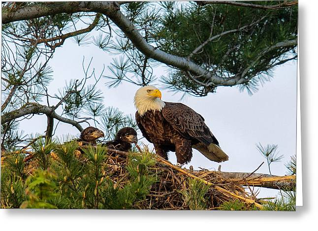 Bald Greeting Cards - Bald Eagle with Eaglets  Greeting Card by Everet Regal