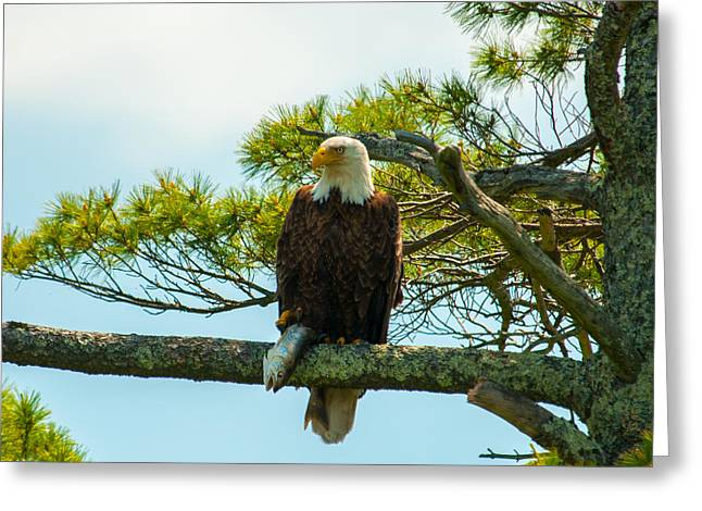 New England Village Greeting Cards - Bald Eagle with Fish Catch Greeting Card by Brenda Jacobs