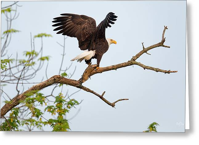Eaglet Greeting Cards - Bald Eagle with fish Greeting Card by Everet Regal