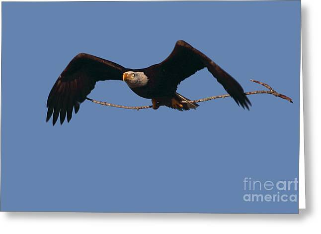 Bald Eagle With Nesting Supplies Greeting Card by Meg Rousher