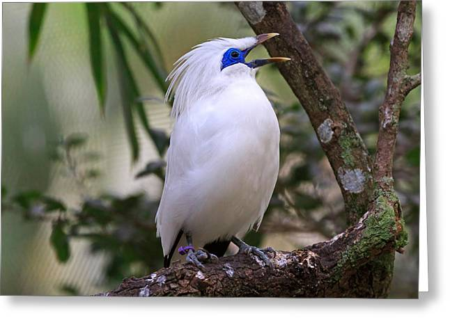 Critically Endangered Species Greeting Cards - Bali Myna Greeting Card by Louise Heusinkveld