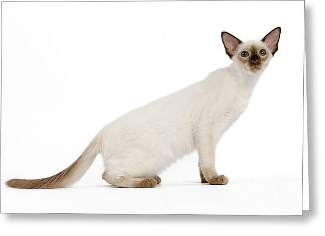 House Pet Greeting Cards - Balinese Kitten Greeting Card by Jean-Michel Labat