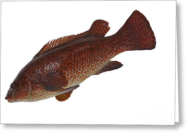 Cut-outs Greeting Cards - Ballan Wrasse Greeting Card by Ladi  Kirn