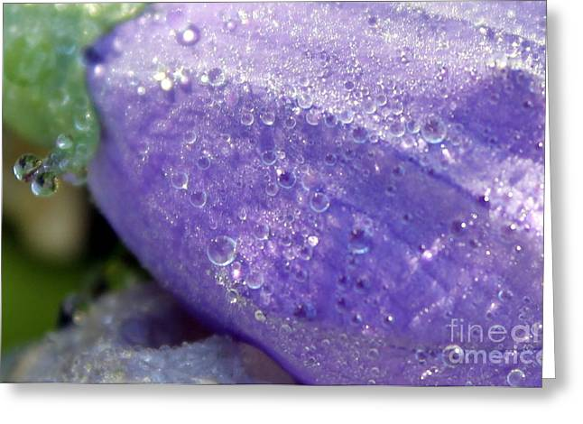 Balloon Flower Greeting Cards - Ballon flower blue macro with dew Greeting Card by Renee Croushore