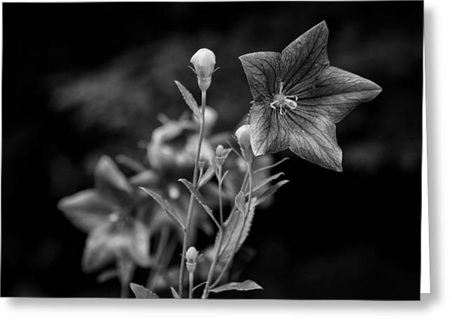 Balloon Flower Greeting Cards - Balloon Flower  Greeting Card by Ben Shields