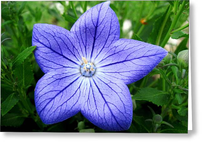 Balloon Flower Greeting Cards - Balloon Flower Greeting Card by Gilbert Photography And Art